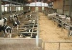 1a cows indoors
