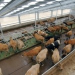 Cows in intensive farm overseas