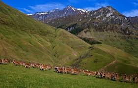 Deer in NZ