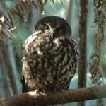 The Ruru: Morepork
