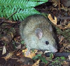 Rats have defied mankind for thousands of years. Could New Zealand get the last one?